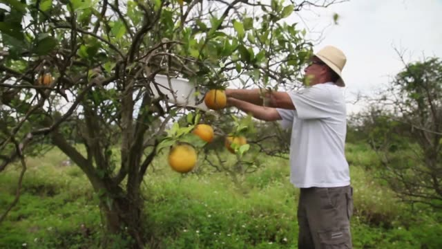 mid shot of guy davis tapping an orange tree. davis is part of a team trying to track the movement of the insect. there is no known cure for the... - オレンジ果樹園点の映像素材/bロール