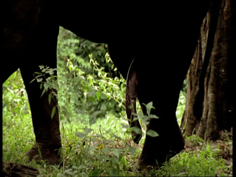 mid shot of indian elephant's, elephas maximus, penis, western ghats, india - erezione video stock e b–roll