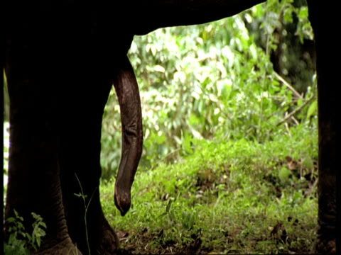 mid shot of indian elephant's, elephas maximus, penis, western ghats, india - erektion stock-videos und b-roll-filmmaterial