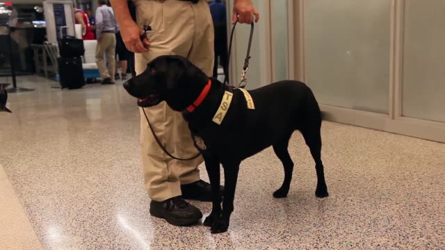 mid shot of k9 unit checking passengers bags as they go through security checks. the program already in place at three other airports in the nation... - イヌ科点の映像素材/bロール