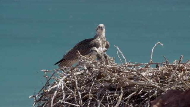 mid shot of osprey adult with two chicks in cliffside nest - osprey stock videos & royalty-free footage