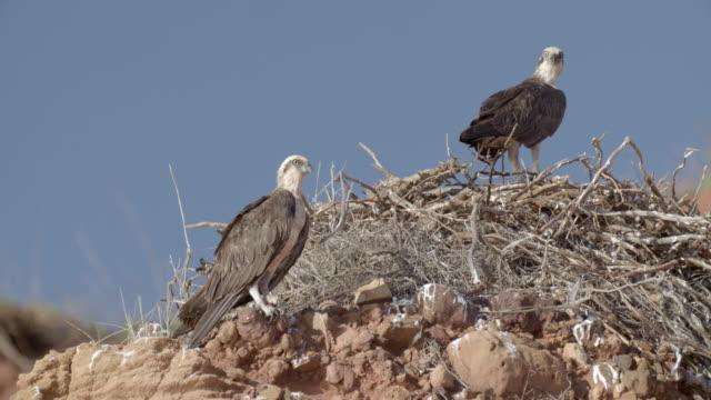 mid shot of osprey nest with two parent birds - ミサゴ点の映像素材/bロール