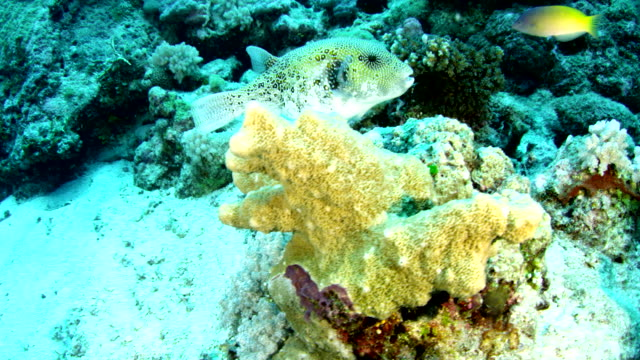 Mid shot of pufferfish swimming near coral reef and ocean floor