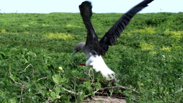 vídeos y material grabado en eventos de stock de mid shot of red-footed booby landing in ground nest with birds flying in background - alcatraz patirrojo