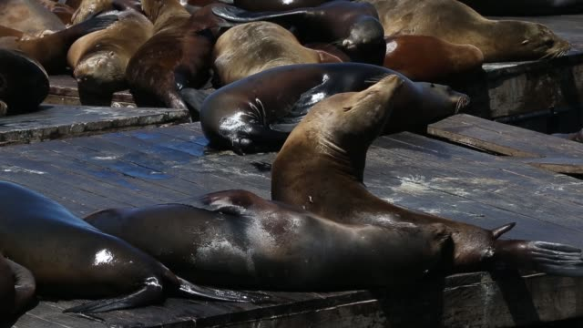 mid shot of sea lions sea lions at san francisco's pier 39 on may 31 2013 in san francisco california - aquatic mammal stock videos & royalty-free footage