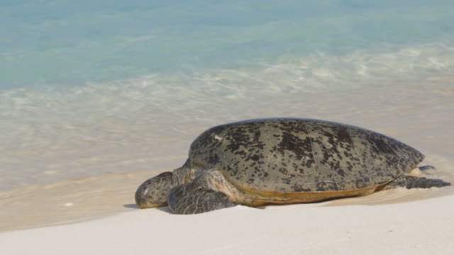 mid shot of sea turtle resting on shore line - green turtle stock videos & royalty-free footage