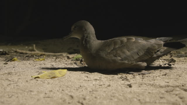 mid shot of shearwater sitting on beach at night - subtropical climate stock videos and b-roll footage