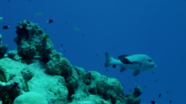 mid shot of sweetlips swimming above coral reef - sweetlips stock videos & royalty-free footage