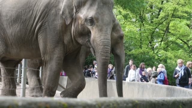 vidéos et rushes de mid shot of two adult elephants. asian elephants get food from visitors at hagenbeck zoo on may 16, 2013 in hamburg, germany. animals in the zoo at... - organisme aquatique