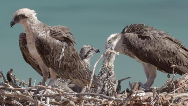 mid shot of two osprey parents feeding chicks with its beak - ミサゴ点の映像素材/bロール