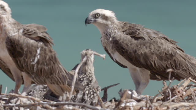 mid shot of two osprey parents feeding chicks with its beak - osprey stock videos & royalty-free footage