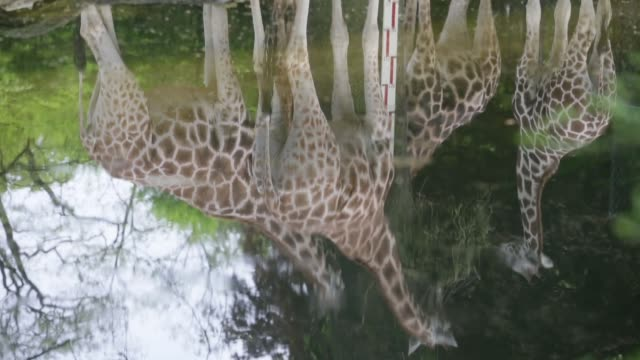mid shot of water reflecting a group of giraffes the reflection showes giraffes grazing in their enclosure at hagenbeck zoo on may 16 2013 in hamburg... - flamingo stock-videos und b-roll-filmmaterial