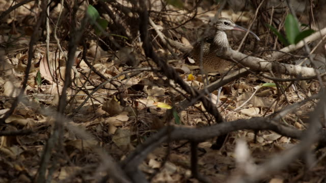 mid shot of whimbrel on forest floor - animal attribute stock videos and b-roll footage