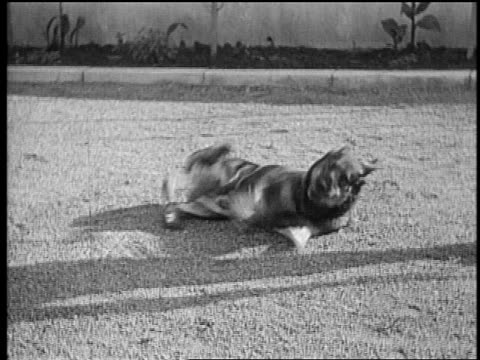 B/W mid1920s Rin Tin Tin rolling over on ground multiple times / newsreel