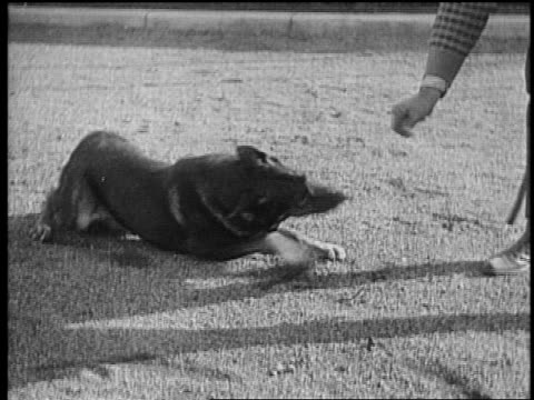 b/w mid1920s rin tin tin rolling over on ground / trainer lee duncan puts collar on him / newsreel - one mid adult man only stock videos & royalty-free footage