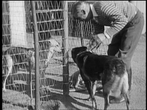 b/w mid1920s trainer lee duncan taking rin tin tin on leash to see 2 dogs behind fence / newsreel - small group of animals stock videos & royalty-free footage