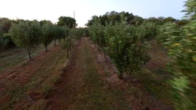 mid-air flight down row of remote peach orchard - mid distance stock videos & royalty-free footage
