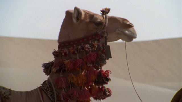 CU, Middle East, Decorated camel carrying cases through desert