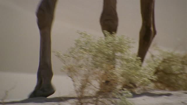 vídeos y material grabado en eventos de stock de cu, tu, middle east, decorated camel traveling through desert - pata de animal pierna