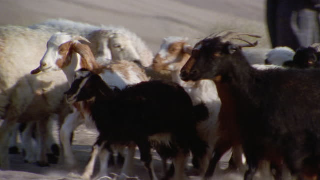 CU, Middle East, Flock of sheep and goats walking through desert