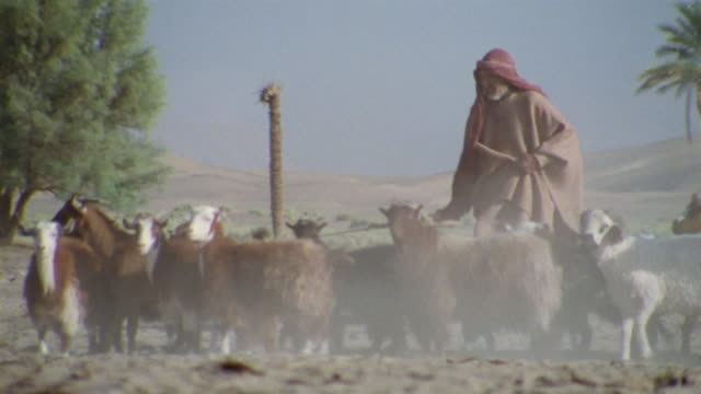 ms, middle east, shepherd herding flock of goats and sheep in desert - flock of sheep stock videos & royalty-free footage