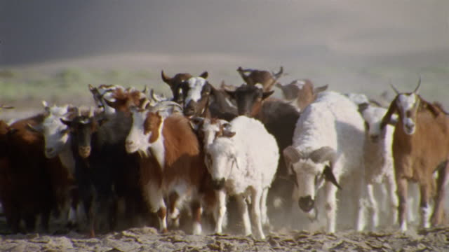 CU, TU, Middle East, Shepherd herding flock of goats and sheep in desert