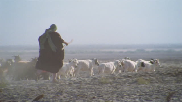 ms, middle east, shepherd herding flock of goats and sheep in desert, throwing stick, rear view - shepherd stock videos & royalty-free footage