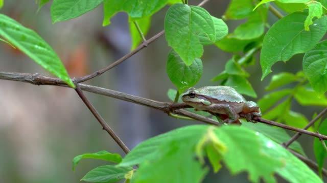 vídeos y material grabado en eventos de stock de middle east tree frog(hyla savignyi) on a tree, israel - zoología