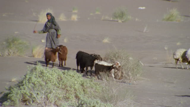 ms, pan, middle east, two boys (14-15, 16-17) herding sheep and goats in desert - shepherd stock videos & royalty-free footage