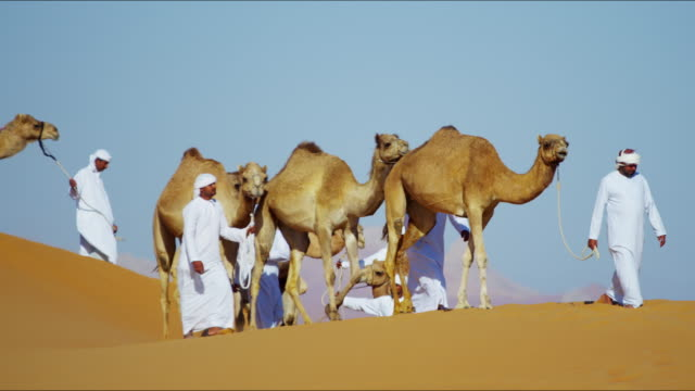 middle eastern dromedary camels on safari desert arabia - middle eastern ethnicity bildbanksvideor och videomaterial från bakom kulisserna