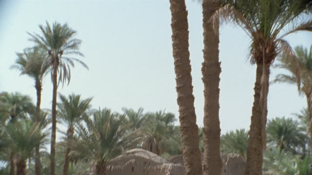 ws td recreation middle eastern man and woman walking across field below tall palm trees / iran - see other clips from this shoot 1007 stock videos & royalty-free footage