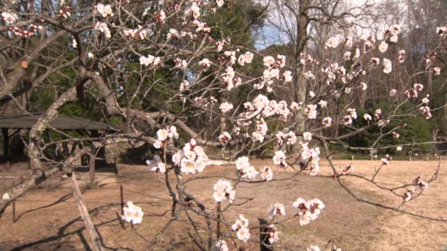 "middle shot of the ""crouching dragon"" plum tree in the sendai city wild plants garden, miyagi, japan. - plum stock videos & royalty-free footage"