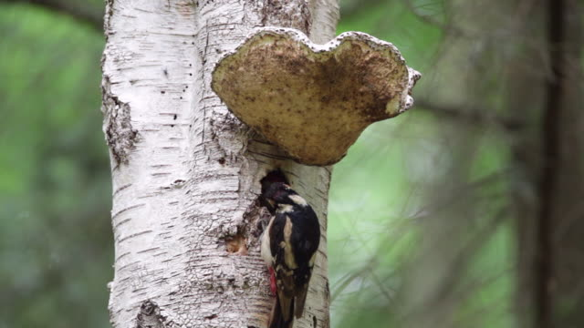 Middle spotted woodpecker. Mother feeding young