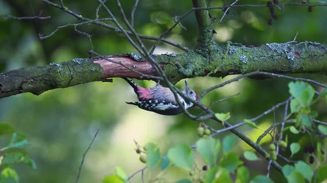 middle spotted woodpecker - animal markings stock videos & royalty-free footage