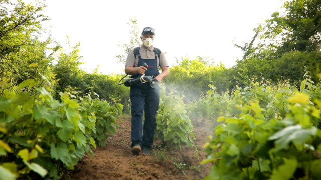 A Middle-Aged Farmer Spraying Pesticide in Vineyard