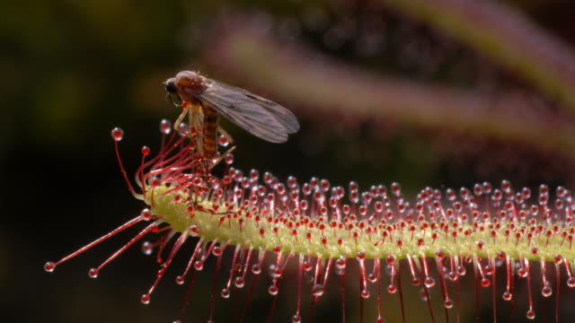 vídeos y material grabado en eventos de stock de midge caught on sundew (drosera capensis) - carnivorous plant