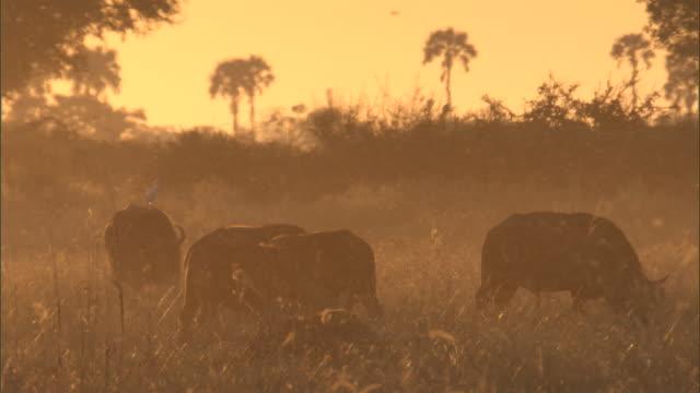 vídeos y material grabado en eventos de stock de midges swarm around buffalo grazing in a marsh. - marisma