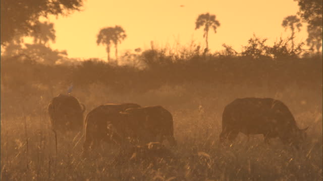 stockvideo's en b-roll-footage met midges swarm around buffalo grazing in a marsh. - moeras