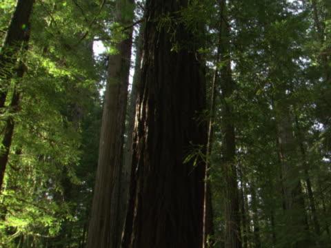 Mid-level evergreen trunks