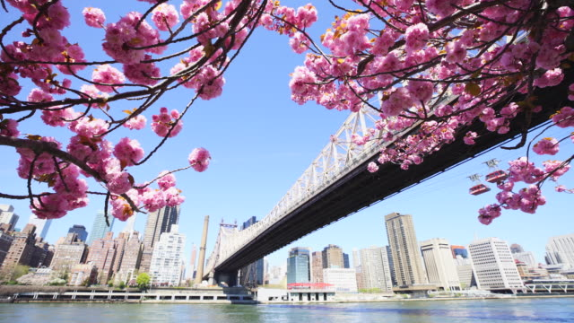 midtown manhattan skyscrapers and queensboro bridge can be seen beyond the cherry blossoms from roosevelt island new york on 2017. roosevelt island tramway run under the queensboro bridge, which cross the east river. - cherry blossom stock videos & royalty-free footage