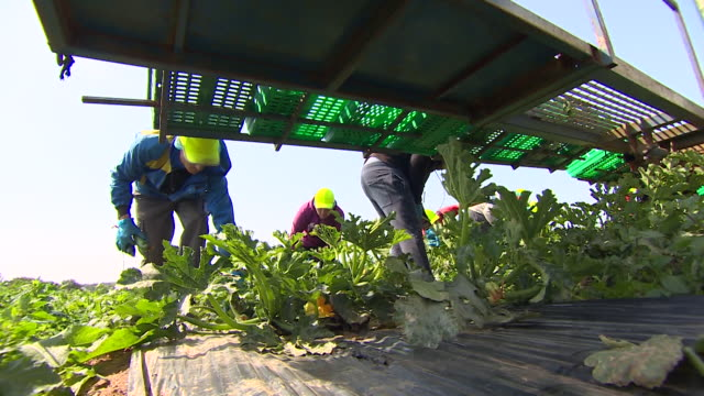 migrant farm workers from the ukraine working in field during courgette harvest part of a seasonal workers pilot scheme for eu workers cornwall - land stock videos & royalty-free footage