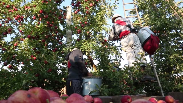vídeos de stock, filmes e b-roll de migrant workers pick gala apples in an orchard owned by rasch family orchards in grand rapids michigan us on tuesday sept 26 2017 photographer daniel... - migrant worker