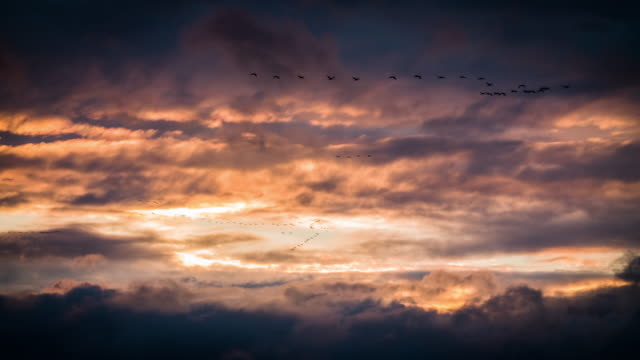 migrating birds flying in dramatic sunset sky - oca uccello d'acqua dolce video stock e b–roll
