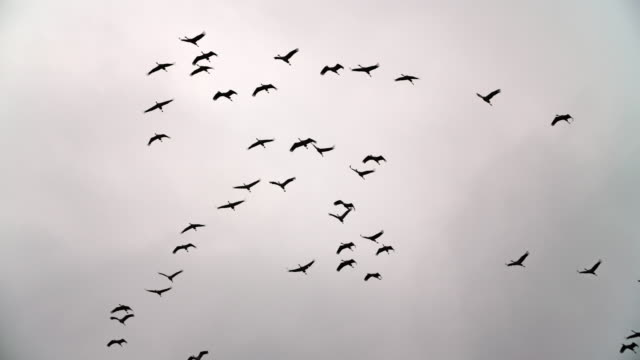 migrating birds - slow motion - flock of birds stock videos & royalty-free footage