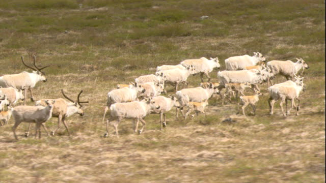 migrating caribou cross the tundra. available in hd. - herde stock-videos und b-roll-filmmaterial