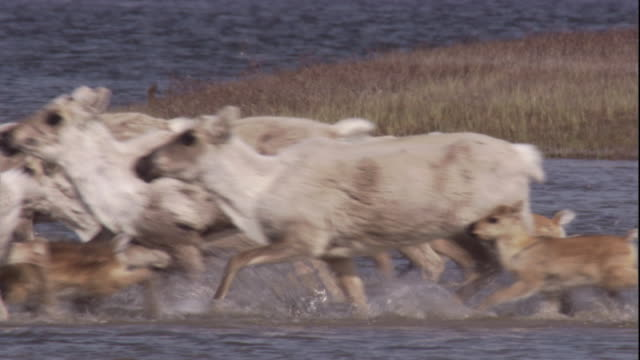 a migrating caribou herd enters river near nunavut, canada. available in hd. - migrating stock videos & royalty-free footage