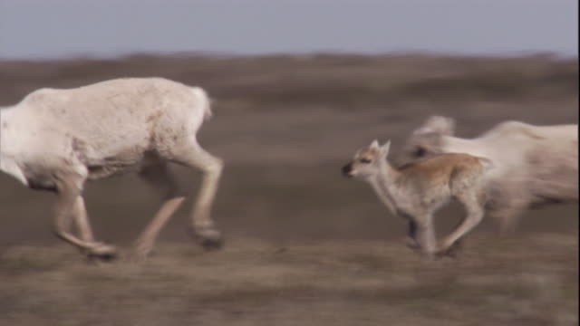 vidéos et rushes de migrating caribou run on the tundra of nunavut, canada. available in hd. - caribou