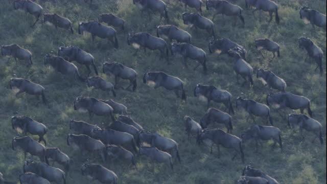 migrating herd of wildebeest on savannah, masai mara, kenya available in hd. - antilope stock-videos und b-roll-filmmaterial
