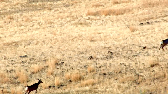 migrating mule deer family does and fawns western ranch oregon 29 - vier tiere stock-videos und b-roll-filmmaterial