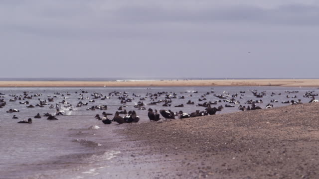 migrating sea ducks on the beach in cape cod - wildlife stock videos & royalty-free footage